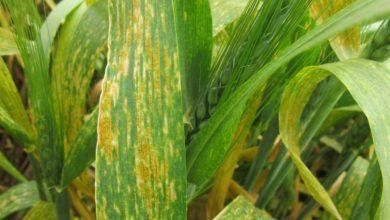 Photo of نقيب الفلاحين يطالب الزراعة بالقضاء على مرض صدأ القمح