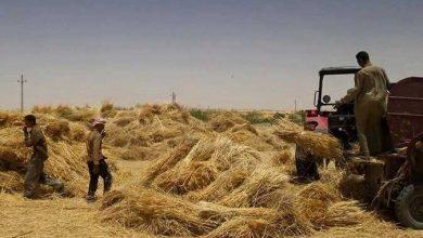 Photo of غدا.. بدء حصاد محصول القمح بمحافظتي الفيوم والشرقية