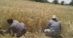Photo of بدء موسم حصاد القمح في محافظة الوادي الجديد