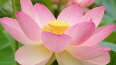 Photo of نبتة لوتس جنوبي الصين تدخل موسوعة جينيس بـ 7 زهور على ساق واحد