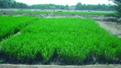 Photo of نجاح تجربة زراعة البرسيم الحجازي في شمال سيناء