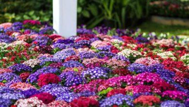 "Photo of ""الزراعة"" تتابع الاستعداد لافتتاح معرض زهور الربيع بحديقة الأورمان"